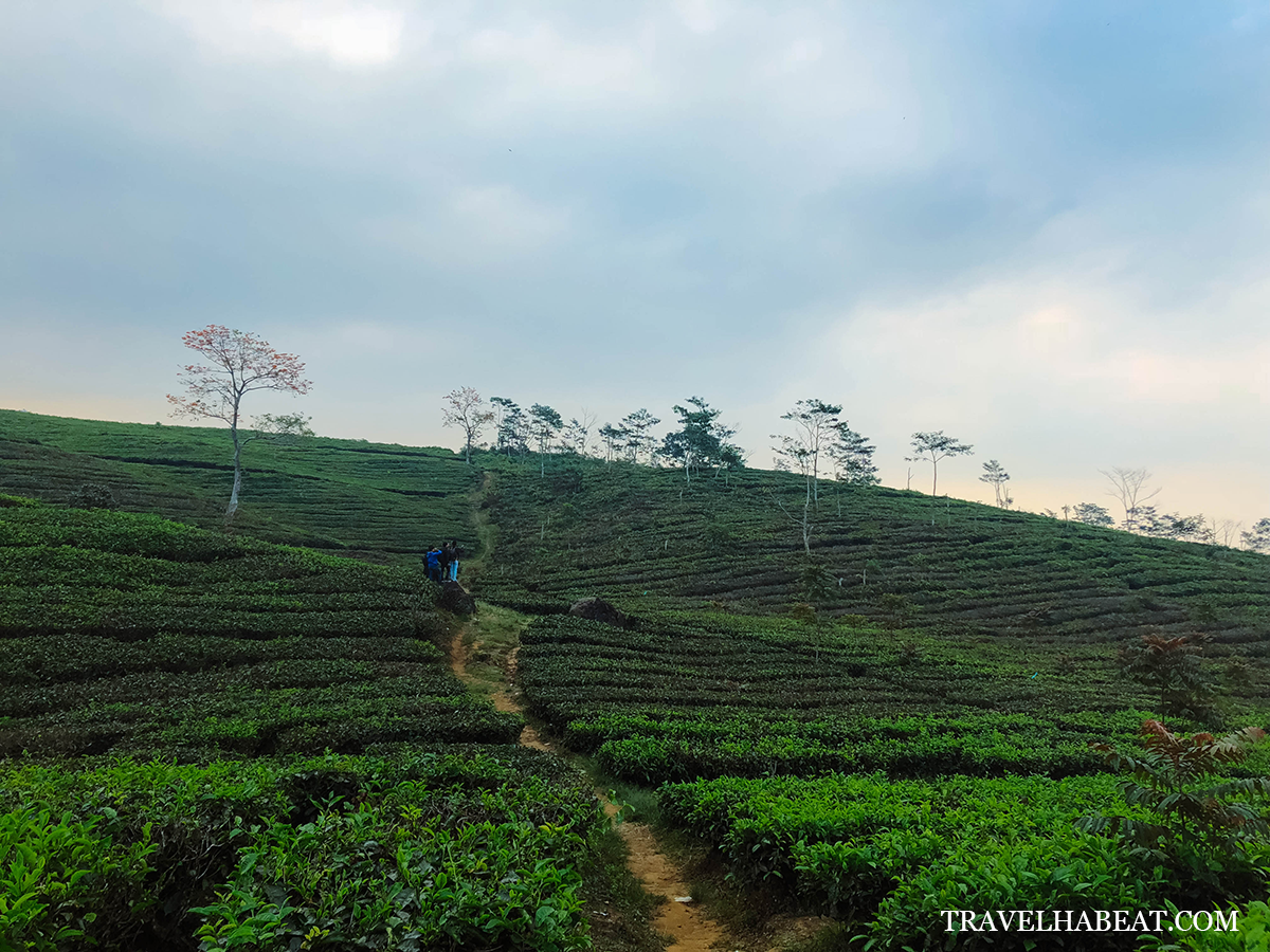 Cikole Tea Plantation