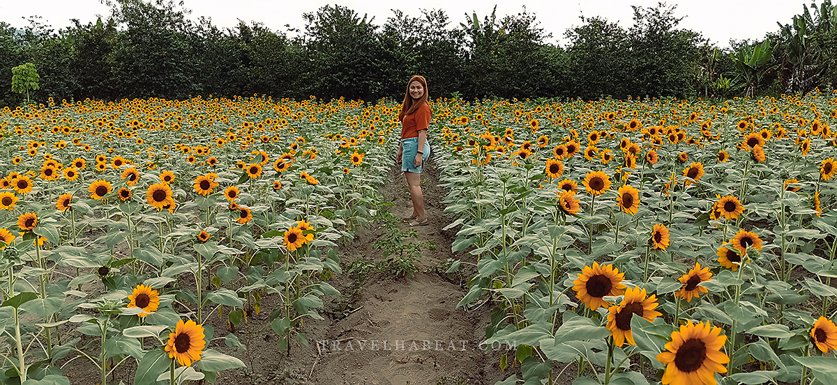 Blooming Petals' Sunflower Plantation